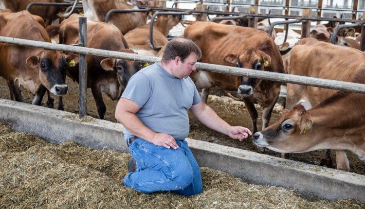 Is Dairy Farming Cruel to Cows?
