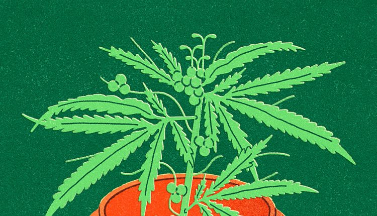 Medical Marijuana Is Not Regulated as Most Medicines Are