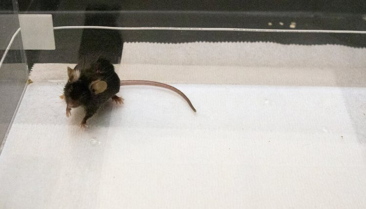 Scientists Drove Mice to Bond by Zapping Their Brains With