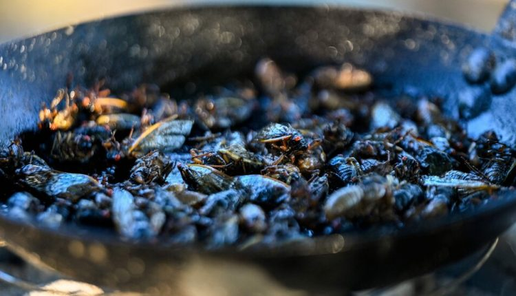 Don't Eat Cicadas if You're Allergic to Seafood, F.D.A. Warns